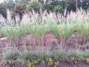 Muhlbergia, commonly known as Pink Muhly grass is a native grass known for its pink to purple inflorescences which float above the body of the plant in an airy display.