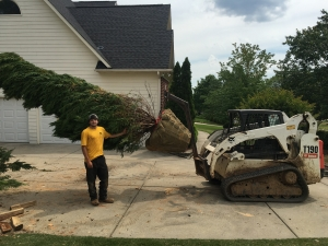 Wilsons Natural Landscaping, LLC. team members hard at work installing large Evergreens.