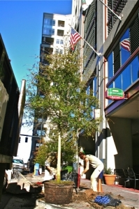 The Wilsons Natural Landscaping  team lining the streets of uptown Charlotte with Oak Trees.