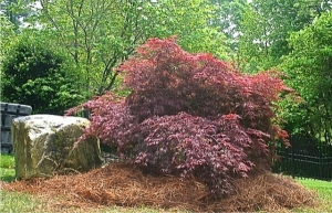 Japanese Maple transplanted to a different location.  At Wilsons Natural Landscaping, LLC, we have a highly trained staff that are able to identify proper planting and transplanting techniques, and their environmental impact.