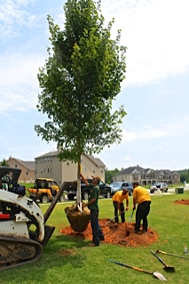 Large Tree Installation Stanfield NC - Tree Transplanting Charlotte | Wilson's Natural Landscaping - TREE_hole_and_setting