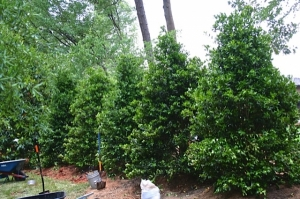 Large Holly's create the backdrop and privacy screening in this back yard oasis.