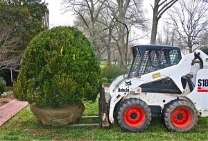 Buxus x 'Green Mountain' Boxwood.  A vigorous evergreen shrub with bright green foliage that retains good color throughout winter.